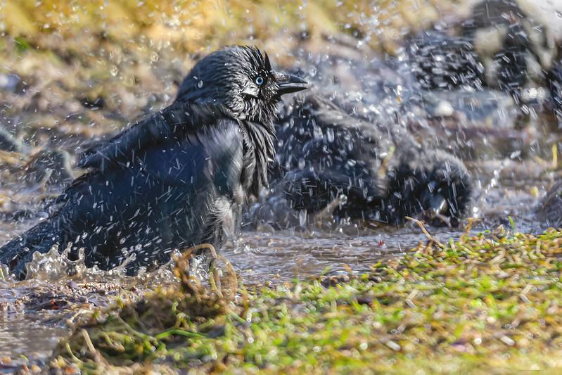 Bathing jackdaw