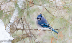 Just Another Blue Jay