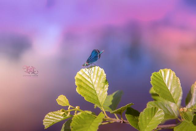 Libellule et reflet dans l'eau / Dragonfly and reflection in water