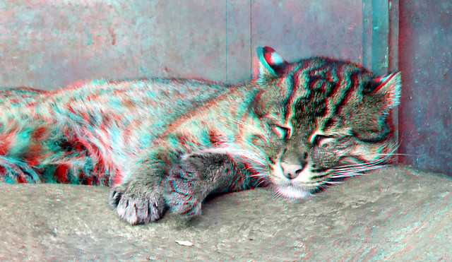 Fishing cat Blijdorp Zoo Rotterdam 3D anaglyph stereo red/cyan