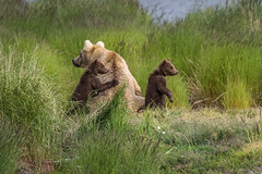 Bear and Cubs 9162