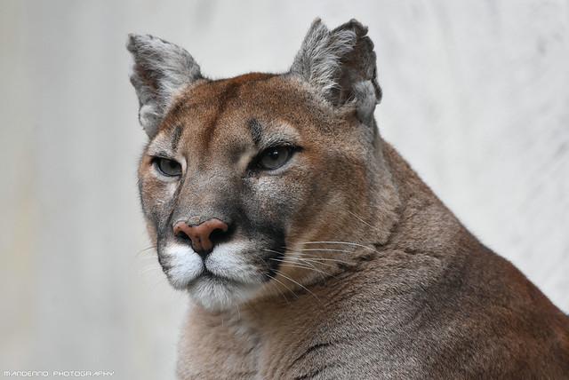 Mountain lion - Zoo Amneville