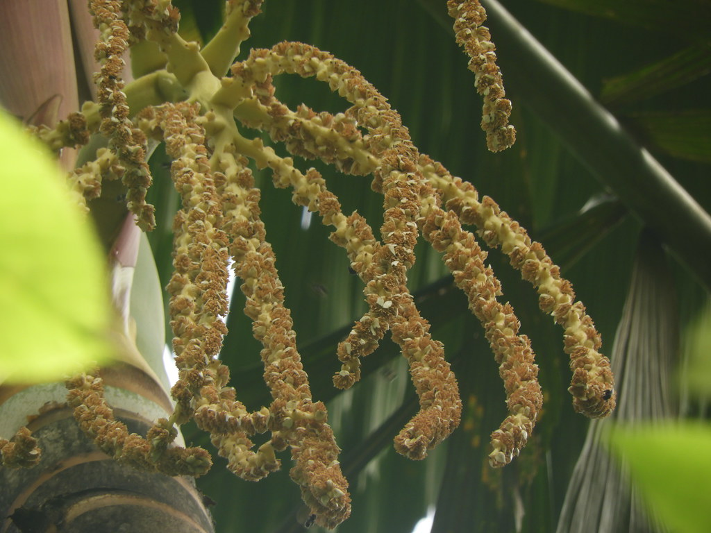 Socratea exorrhiza (Mart.) H. Wendl. * Maquenque - Palmito amargo *