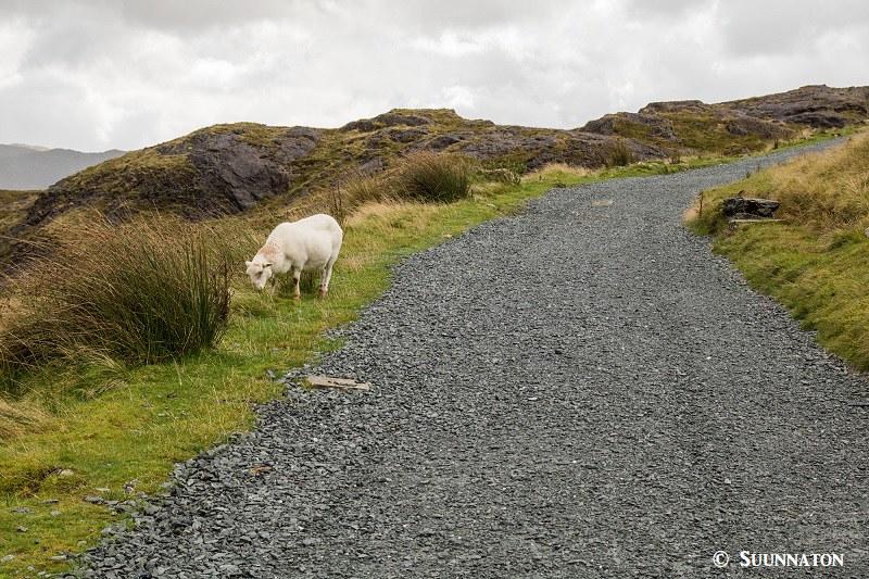 Snowdonian kansallispuisto, Miners' Track, lammas