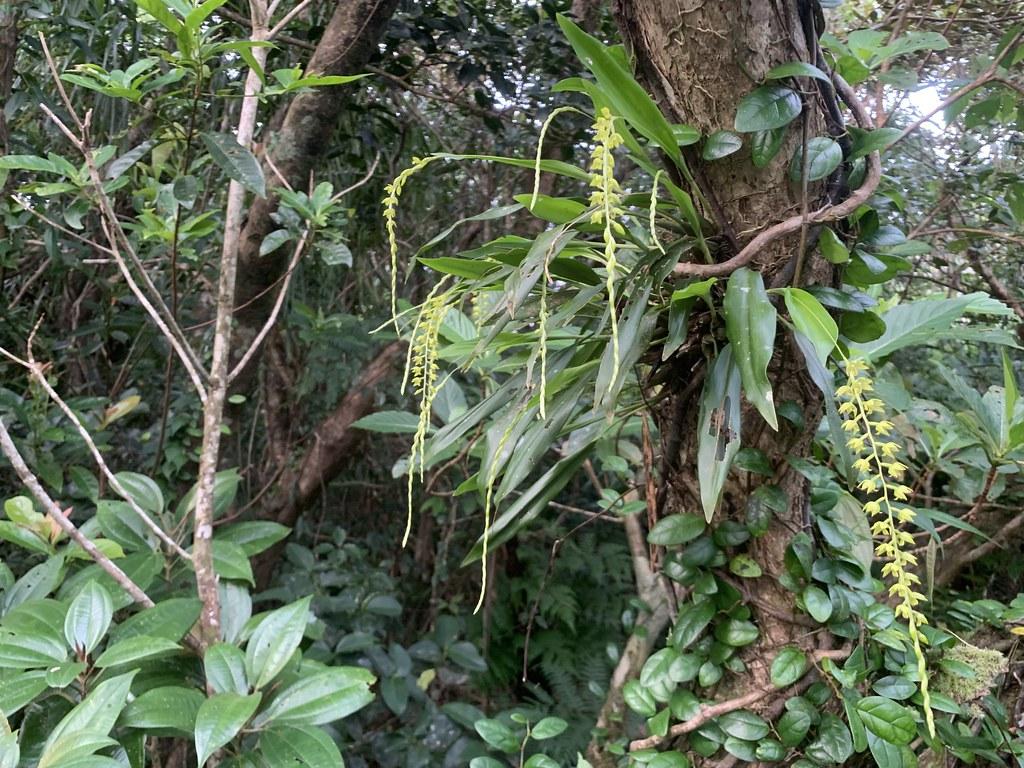 黃穗蘭Dendrochilum uncatum,NVU易危。攝影:陳奕銘