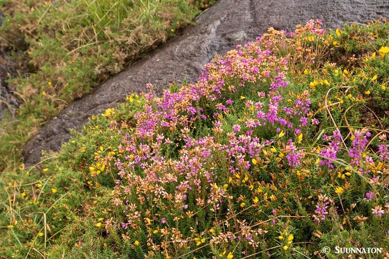 Snowdonian kansallispuisto, kanerva