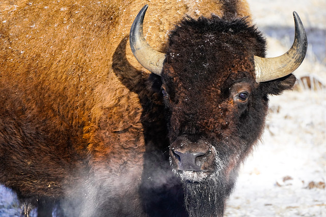 American Bison - Frigid