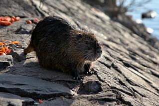 Otter on Vltava River