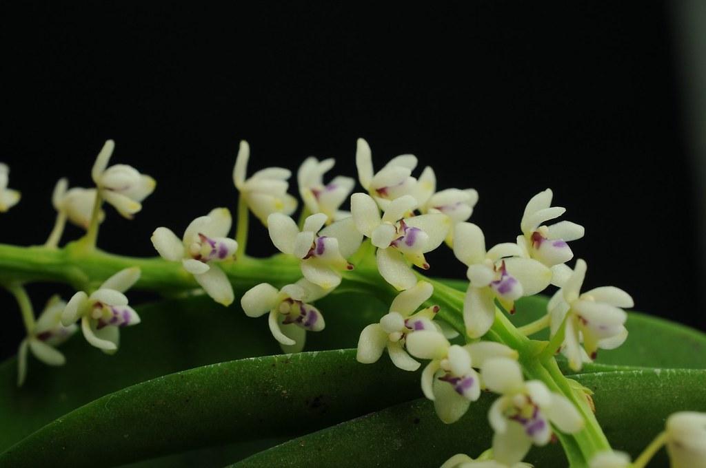 管唇蘭(紅頭蘭)Tuberolabium kotoense,NVU易危。攝影:李權裕