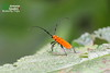 Unidentified Cerambycidae