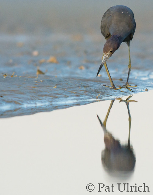 Little blue heron on the shoreline