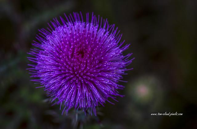 Purple Wildflower Macro