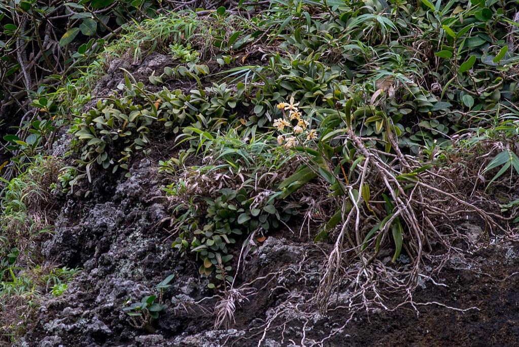 雅美萬代蘭Vanda lamellata,NVU易危。攝影:陳奕銘