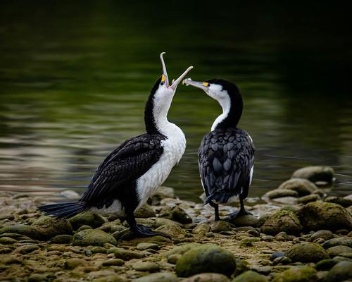 housesitting goldpending open slideshow bird flickr facebook piedshag nztour sunrise kakanui 2020tour oamaru otagoregion newzealand 2020annualnaturedpi landscapeseascape