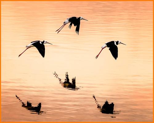 housesitting blackstilt bird flickr facebook nztour sunrise kakanui 2020tour newzealand submitted landscapeseascape