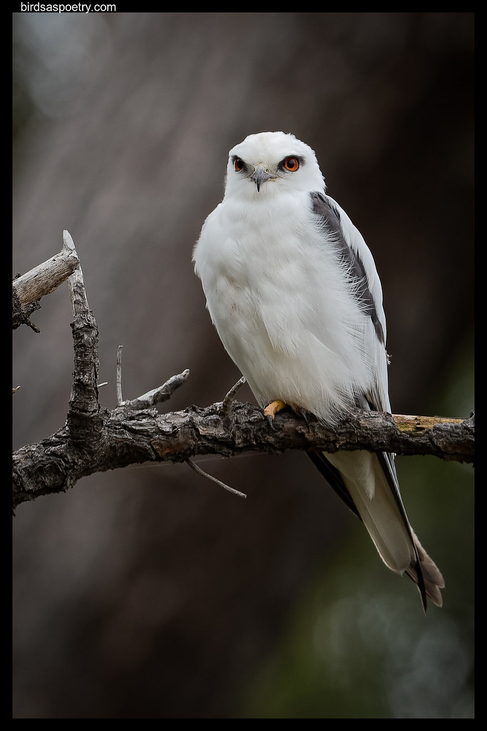 Black-shouldered Kite: Expectant Father.