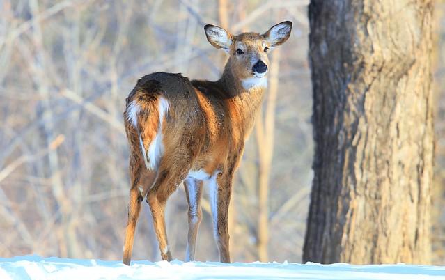white-tailed deer doe at Lake Meyer Park IA 653A5116