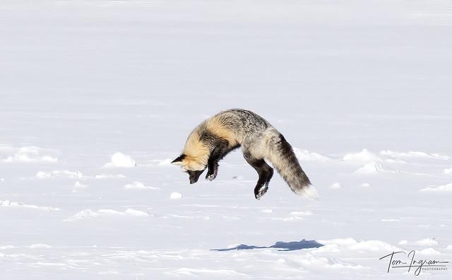 Cross Fox - Red Fox variant