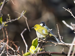 Japanese white-eye (Zosterops japonicus, メジロ) and Japanese tit (Parus minor, シジュウカラ)