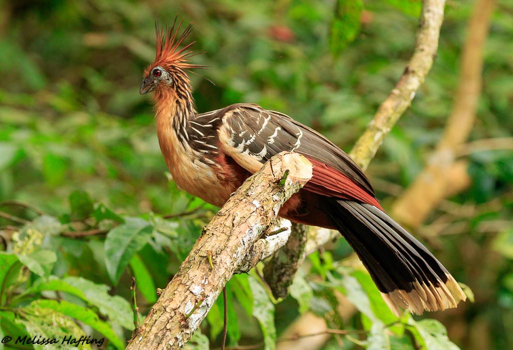 Hoatzin (Melanerpes cruentatus) - Yasuni National Park, EC