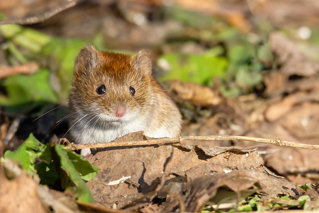 The little forest mouse