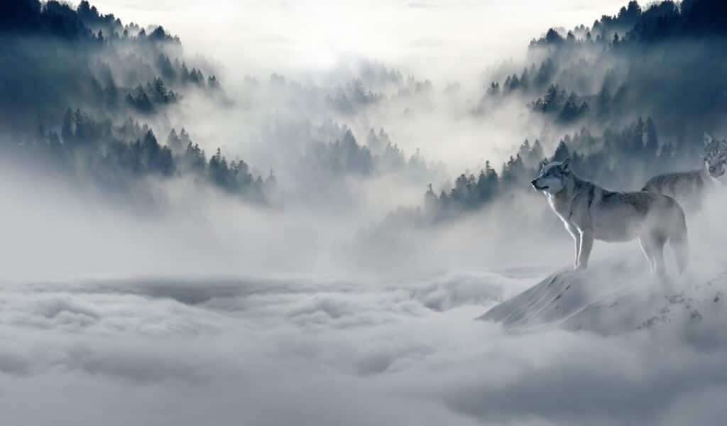 le-loup-de-Himalaya-est-une-nouvelle-espèce