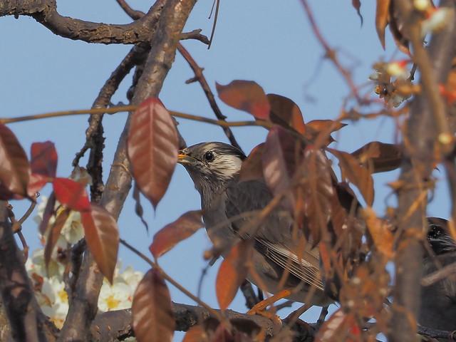 White-cheeked starling (Sturnus cineraceus, ムクドリ)