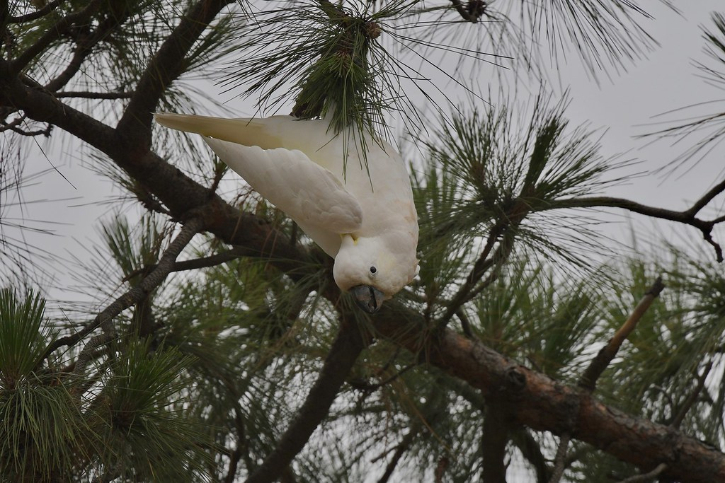 Sulphur-crested Cockatoo ( Hey! are you watching ? )