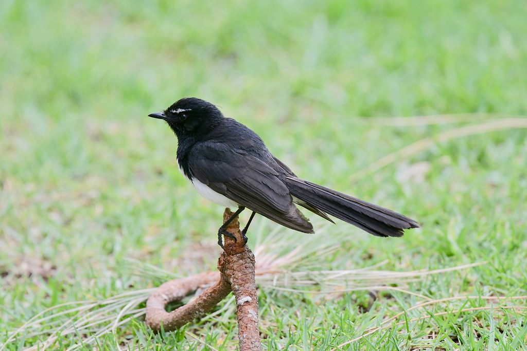 Willie Wagtail ( taking a rest )