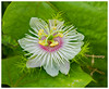 Wild passionfruit - Home garden, Darwin, NT, Australia