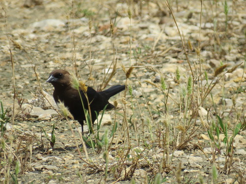 Brown-headed Cowbird (Molothrus ater ater) | by J Scott Ryder