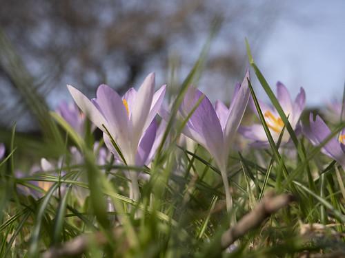 Crocus tommasinianus in February (kasia_ociepa)
