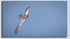 Whiskered Tern flies like a whiskey tern