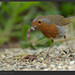 "<p><a href=""https://www.flickr.com/people/roryhill/"">Rory_H</a> posted a photo:</p> 	 <p><a href=""https://www.flickr.com/photos/roryhill/49565739907/"" title=""European Robin, Mount Usher, Ireland""><img src=""https://live.staticflickr.com/65535/49565739907_b21d332be0_m.jpg"" width=""240"" height=""168"" alt=""European Robin, Mount Usher, Ireland"" /></a></p>"
