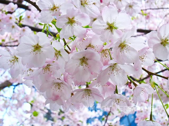 Vancouver Cherry Blossom Festival