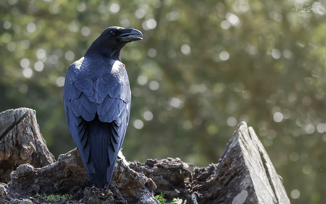 cuervo solitario
