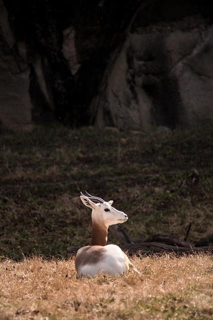 Gazelle in Shadow 3-0 F LR 2-3-20 J057
