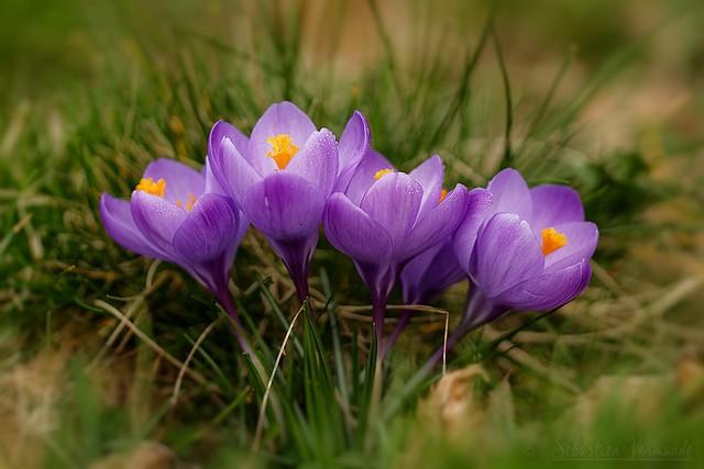 Spring Crocus - Crocus de Printemps