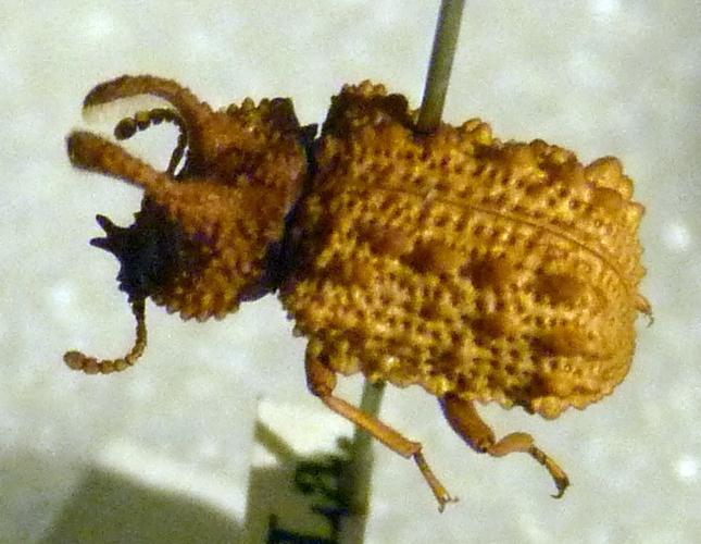 Bolitotherus cornutus 49566190596_64fd24f091_o