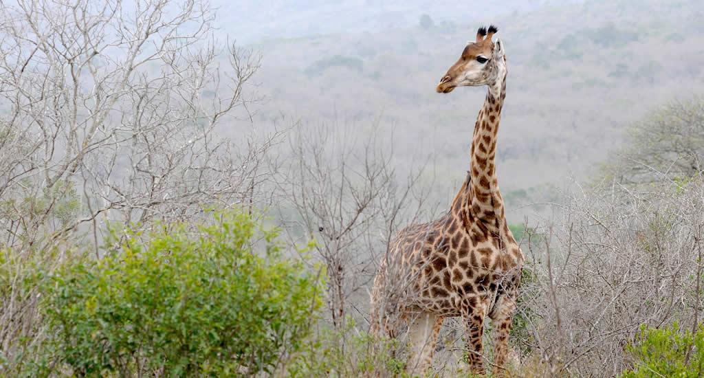 Safari Zuid-Afrika: Hluhluwe-iMfolozi Park | Mooistestedentrips.nl