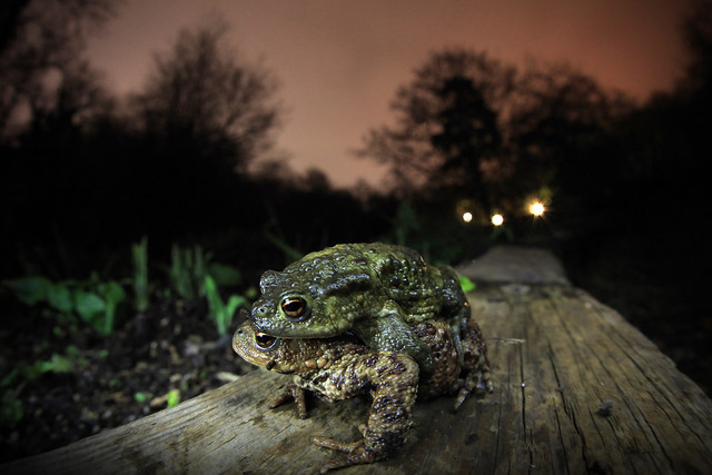 Common Toads in amplexus, wide angle, Bristol, Ian Wade