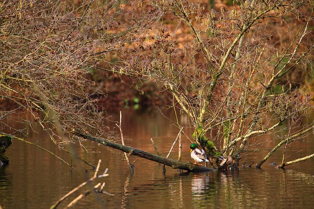 Ducks on a forest lake