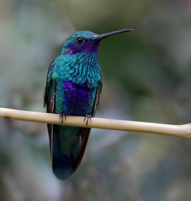 Sparkling Violetear_Colibri coruscans_Ascanio_Colombia_DZ3A1198