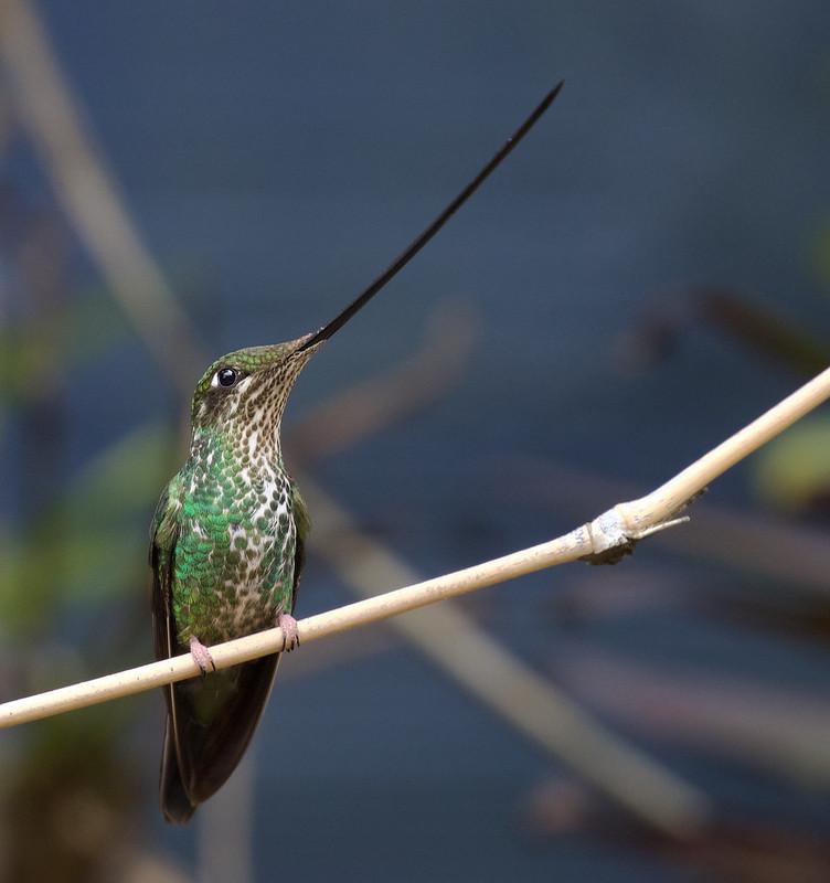 Sword-billed Hummingbird_Ensifera ensifera_Ascanio_Colombia_DZ3A1005