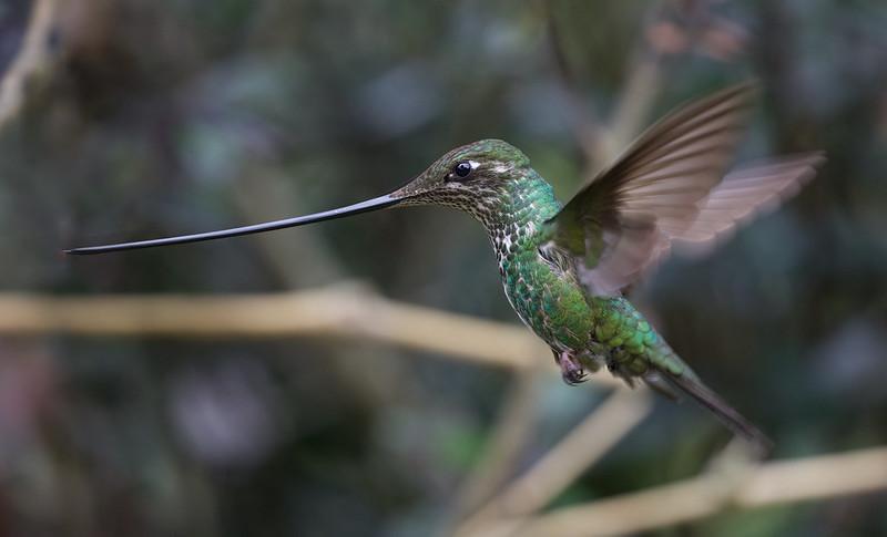 Sword-billed Hummingbird_Ensifera ensifera_Ascanio_Colombia_ DZ3A1217