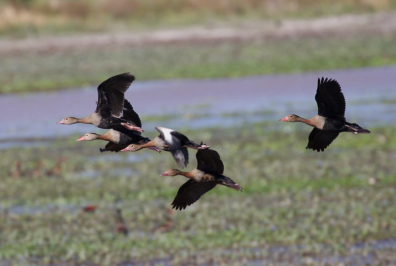 Black-bellied Whistling-Duck_Dendrocygna autumnalis_Ascanio_Colombia_DZ3A1505