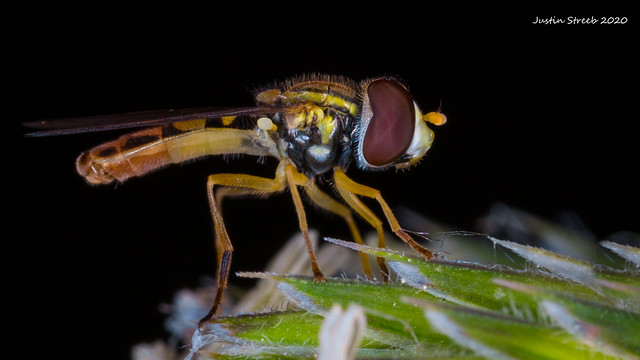 Hoverfly Profile View