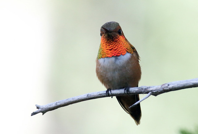 Rufous Hummingbird -- Male (Selasphorous rufus); Santa Fe National Forest, NM, Thompson Ridge [Lou Feltz]