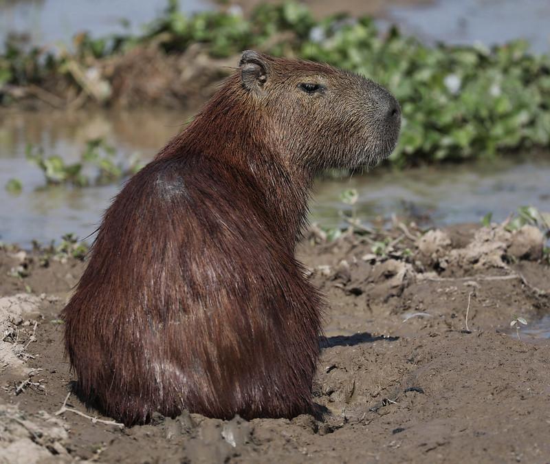 Capybara_Hydrochaeris hydrochaeris_Colombia_Ascanio_DZ3A1578