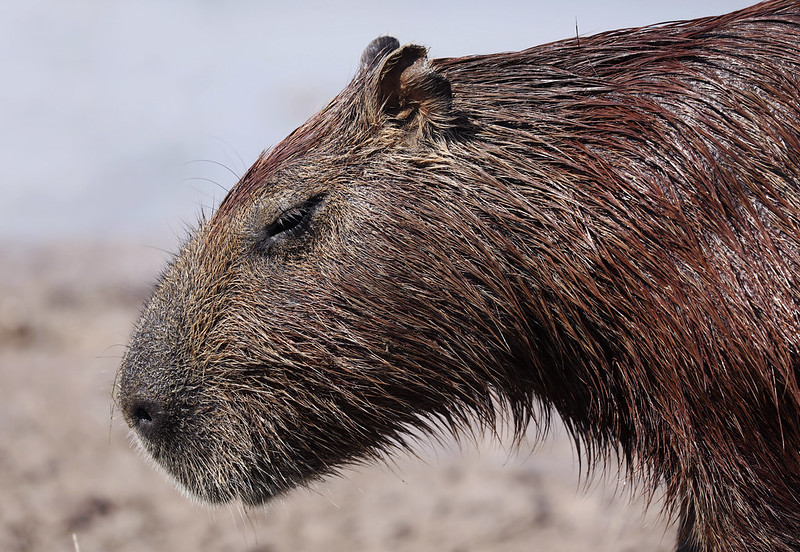 Capybara_Hydrochaeris hydrochaeris_Ascanio_Colombia_DZ3A1647